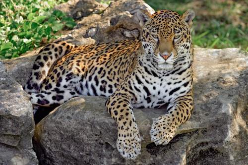岩の上で休むジャガー