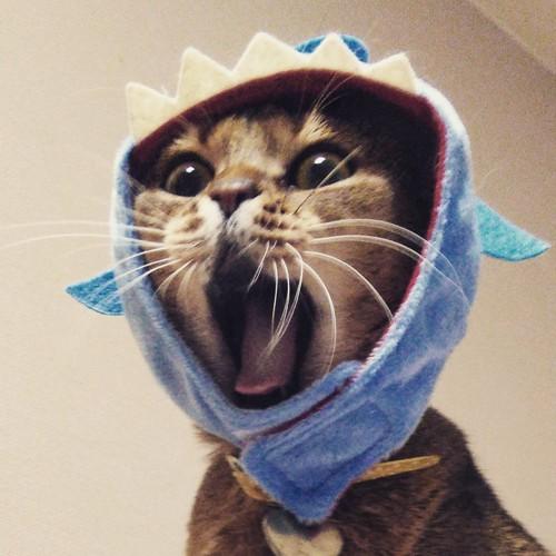 サメのかぶりものをして口を大きく開ける猫