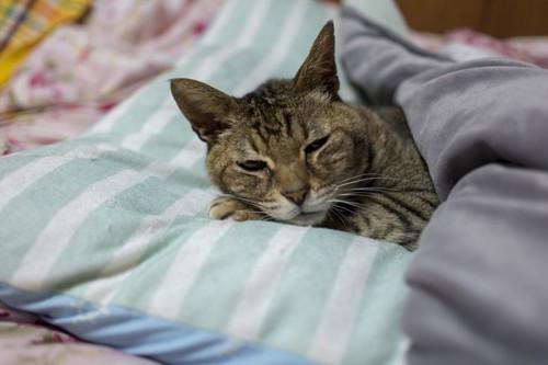 布団でまどろむ猫
