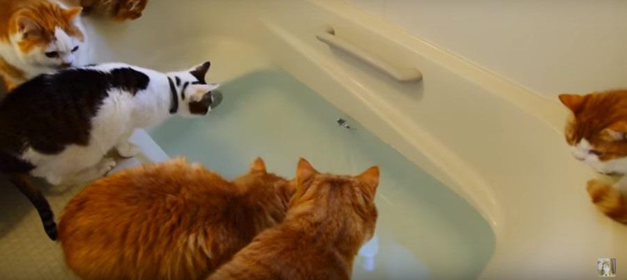 金魚を見るマンチカンズ