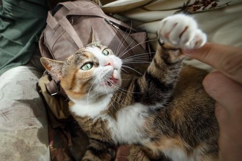 飼い主の指に手を伸ばして怒っている猫