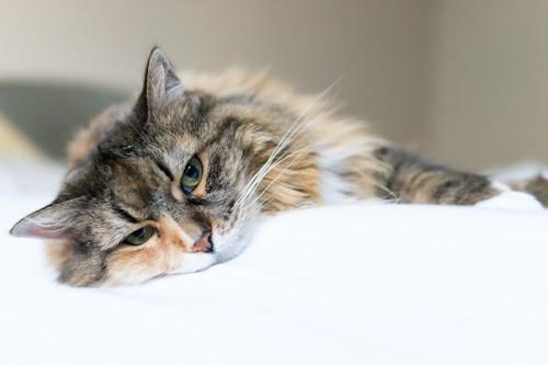 ダルそうに横になっている猫