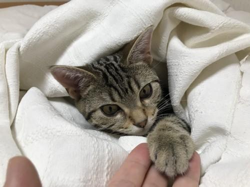 布団の上でぬくぬくする猫