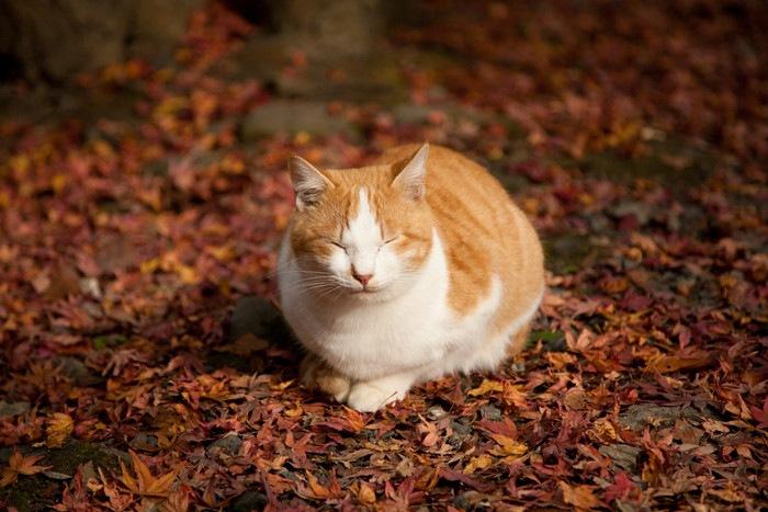 丸くなる茶白猫