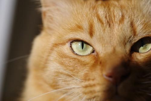 真剣な眼差しで見つめる猫の顔アップ