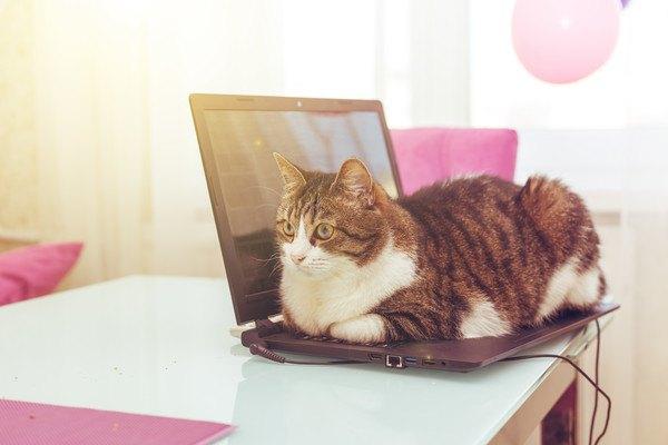 パソコンの上に座る猫