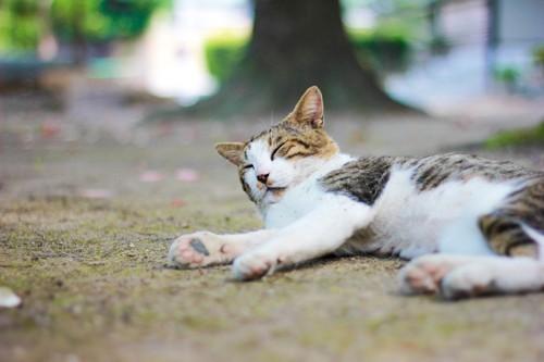 横たわる野良猫