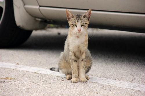 車のそばに座ってジッとこちらを見つめる猫