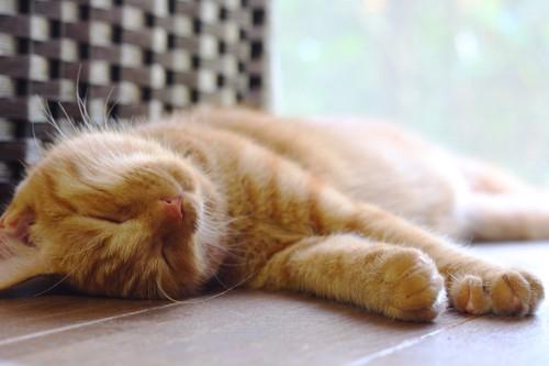 フローリングの上で眠る鼻の赤い茶トラ猫