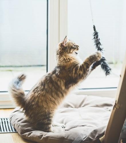 おもちゃにじゃれる猫
