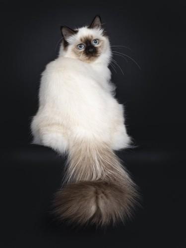 お尻向ける猫