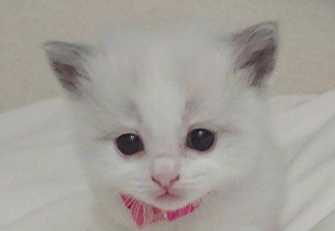 白いラグドールの子猫
