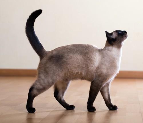 しっぽを立てて見上げている猫