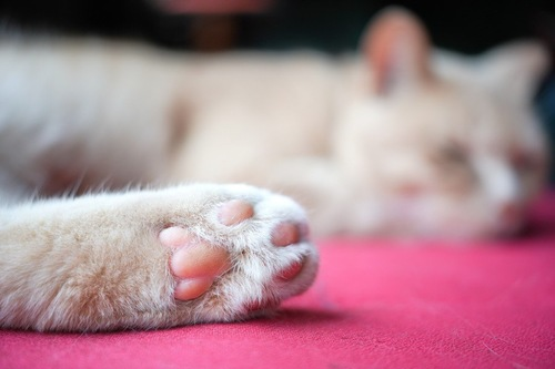 白い猫のピンクの肉球