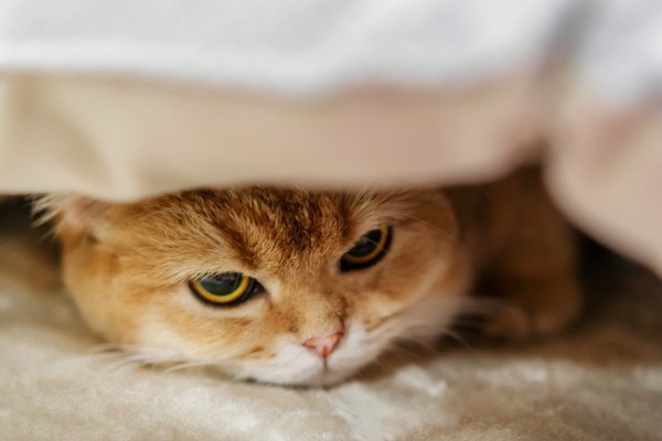 布の下から警戒する猫