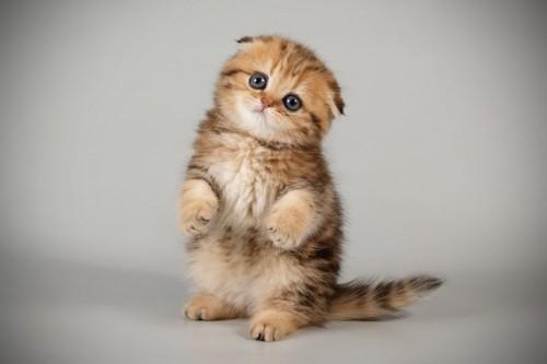 立つスコティッシュフォールドの子猫