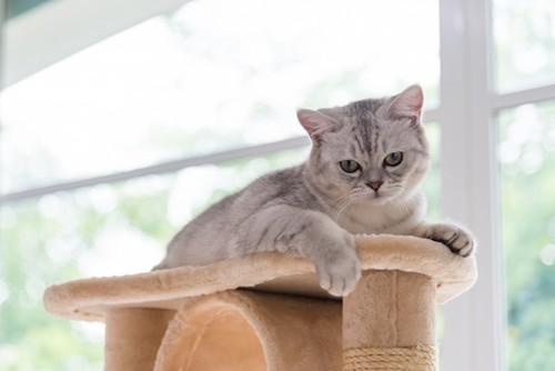 キャットタワーの上から下を見る猫