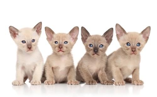 4匹のオリエンタルの子猫