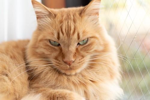すごみを効かせる猫