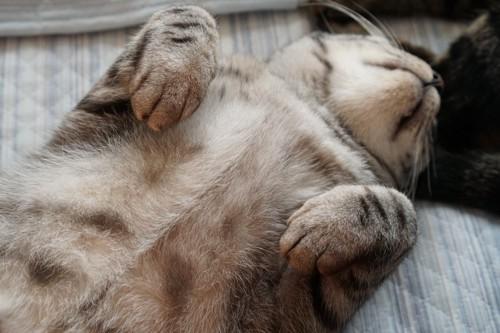 お腹を見せて眠る猫