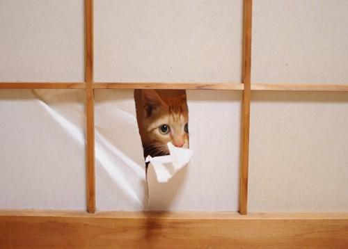 破れた障子の隙間から覗く猫