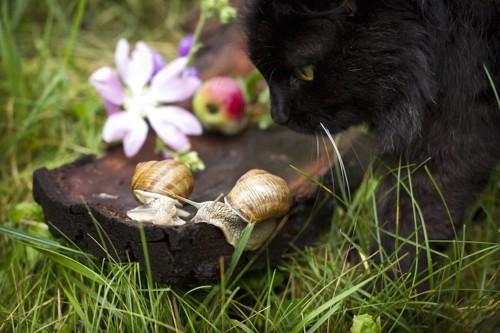 カタツムリを見つめる黒猫