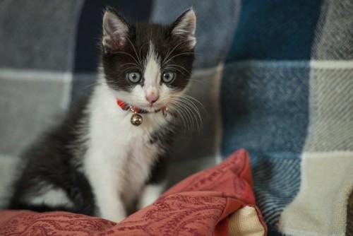 ソファーカバーで爪とぎする猫