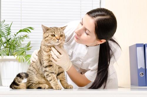 獣医師に診察される猫