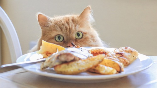 人間の食べ物を見る猫