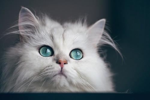 まん丸な瞳の白猫