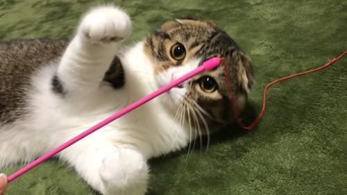 仰向けで遊ぶ猫