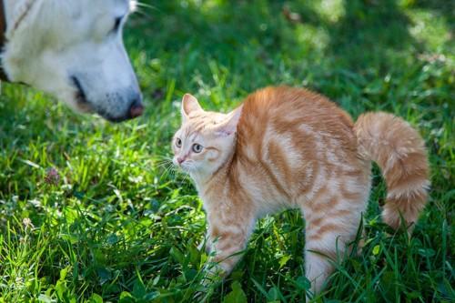 尻尾を膨らませて犬を警戒する猫