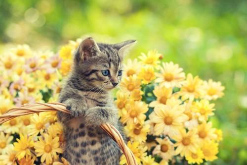 カゴに入った茶トラと黄色い花