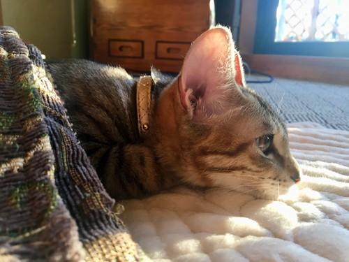 コタツでヌクヌクの猫
