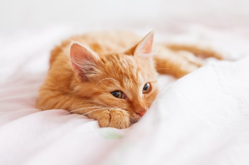 ベッドの上でくつろぎながらチラ見をする猫