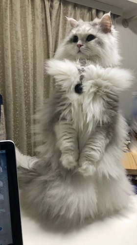 二本足で立つ猫