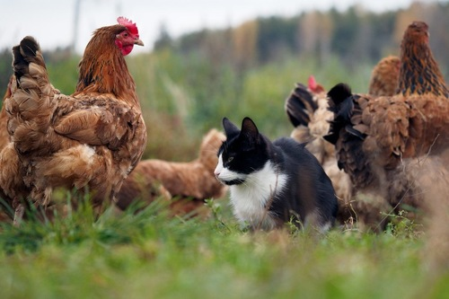 たくさんの鶏と草原にいる猫