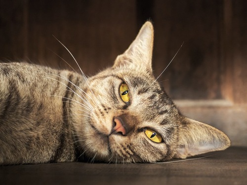ダルそうに横になる猫