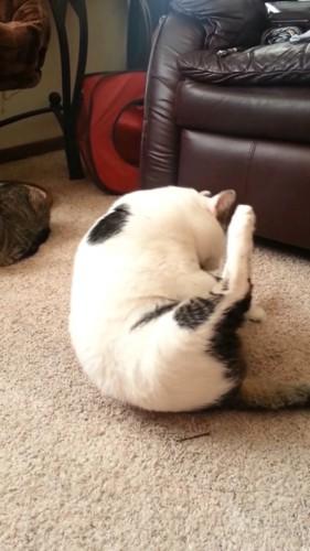 体重が後ろにいく猫