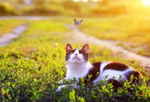 蝶を見つめる猫