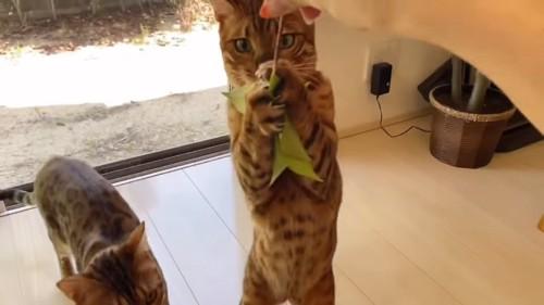 葉っぱにじゃれる猫