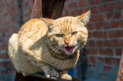 何かに向かって鳴いている茶トラ猫