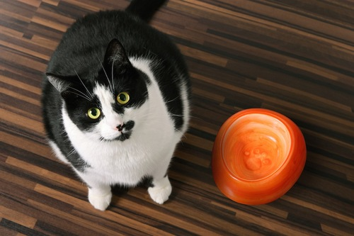 空の食器の前で訴える猫