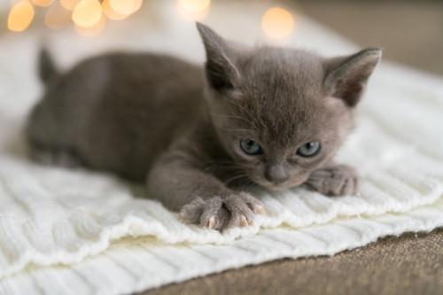 セーターに爪をたてている子猫