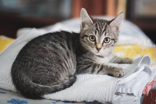 洗濯物の上の子猫