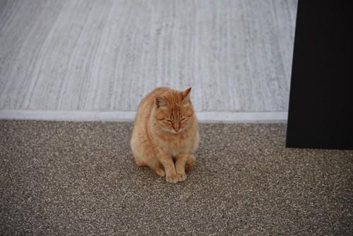お辞儀する茶色猫
