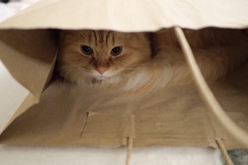 紙袋の中にいる猫