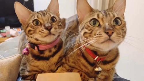 前を見る2匹の猫