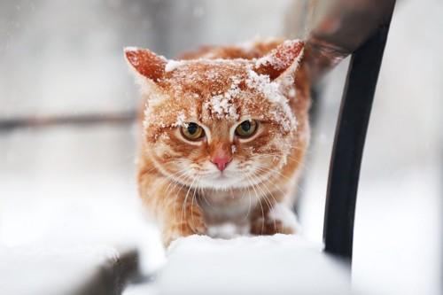 雪をかぶって歩く茶トラ猫