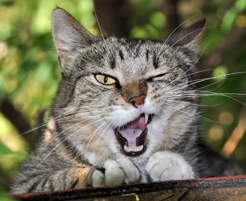 片目を閉じて口を開けている猫
